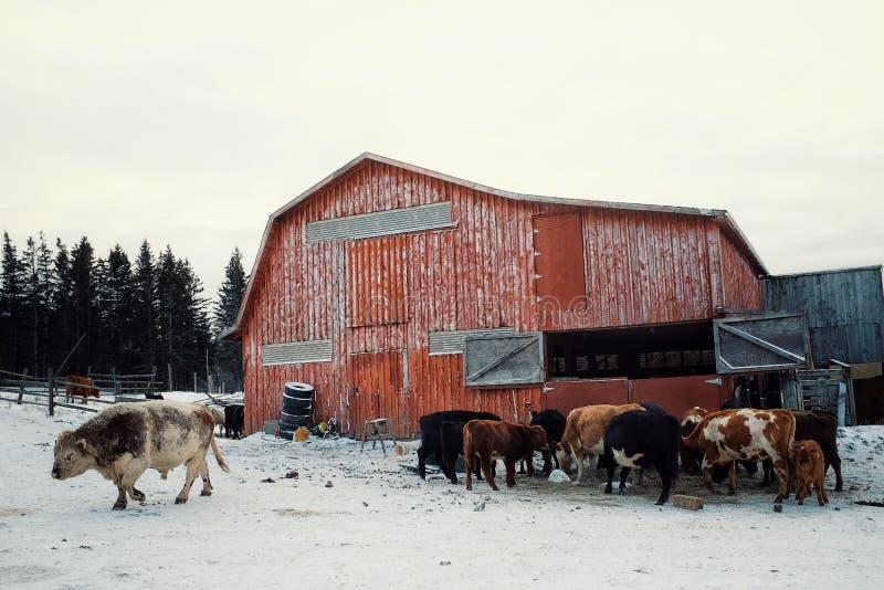 een kleurrijk rood schuurgebouw met koevee het voeden van een hooiberg tijdens de winter met een grote stier stock afbeeldingen