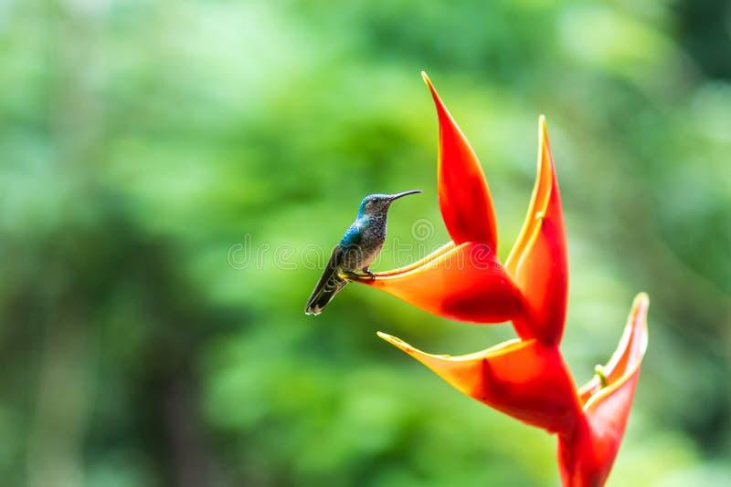 Een kleurrijke kolibrie op een rode bloem royalty-vrije stock fotografie