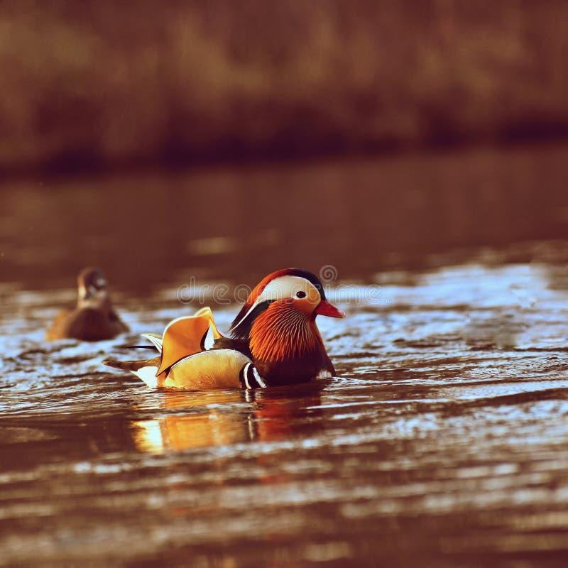 Een kleurrijke mannelijke mandarin eend Aix Galericulata royalty-vrije stock foto's