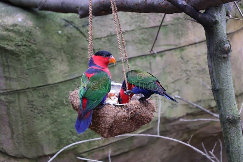 Een kleurrijke papegaai die hem eten voedsel van kleine kom royalty-vrije stock afbeeldingen