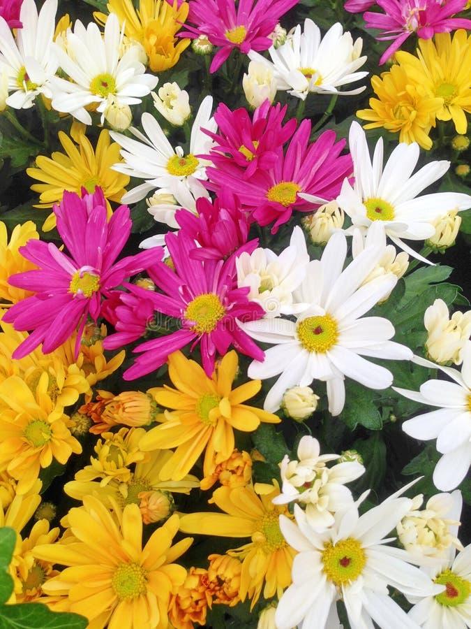 een kleurrijke vertoning van Chrysant Daisy bloeit royalty-vrije stock afbeelding