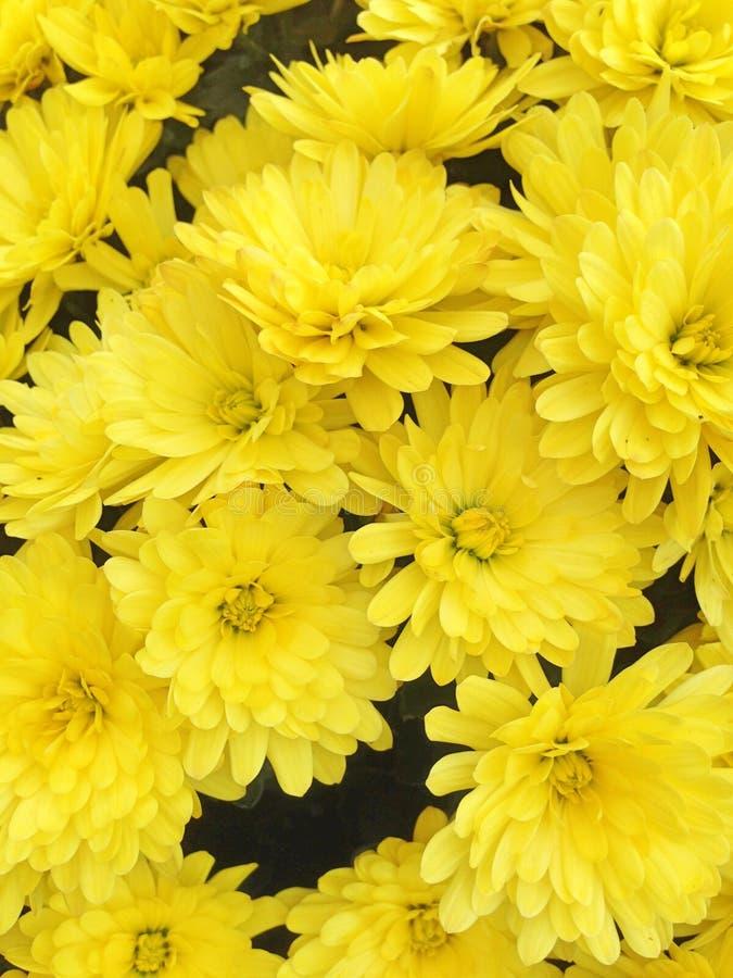 Een kleurrijke vertoning van heldere gele Chrysant bloeit royalty-vrije stock afbeeldingen