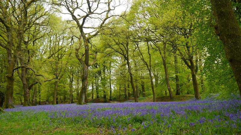 Een klokjehout in Engeland in de Lente stock foto's