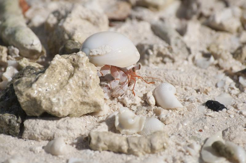 Een Kluizenaarkrab op het Strand in Bora Bora royalty-vrije stock foto's