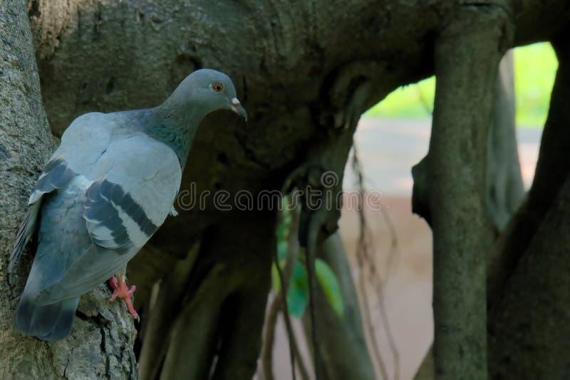 Een knappe die duif, aan de partij die zwak van een boomboomstam wordt neergestreken, een Thais tuinpark overzien stock foto