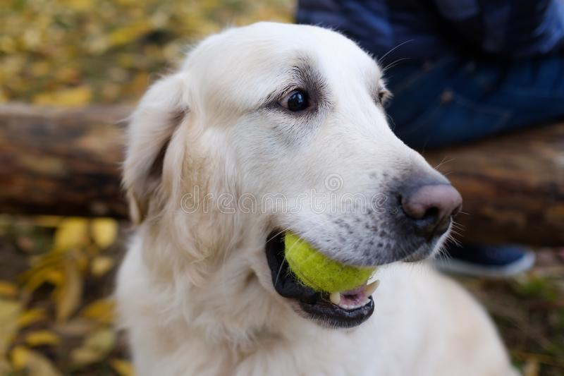 Een knappe jonge Golden retrieverhond klaar om honkbal te spelen Hij houdt de bal in zijn mond stock fotografie