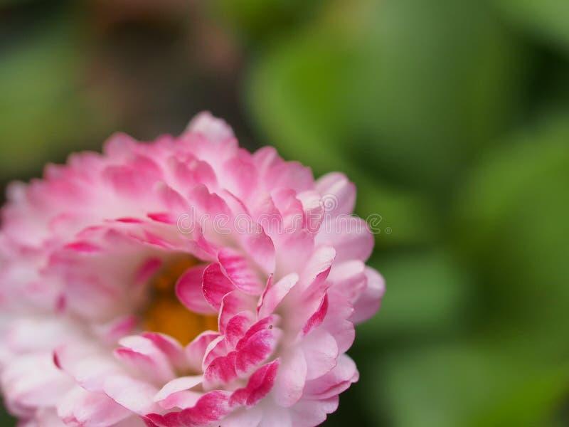 Een Knop van Daisy bloesems Bloemblaadjes met uiteinden van rode kleur royalty-vrije stock foto's