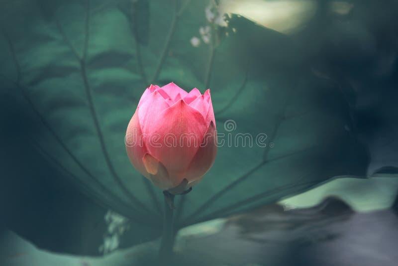 Een Knop van Roze Lotus royalty-vrije stock afbeeldingen