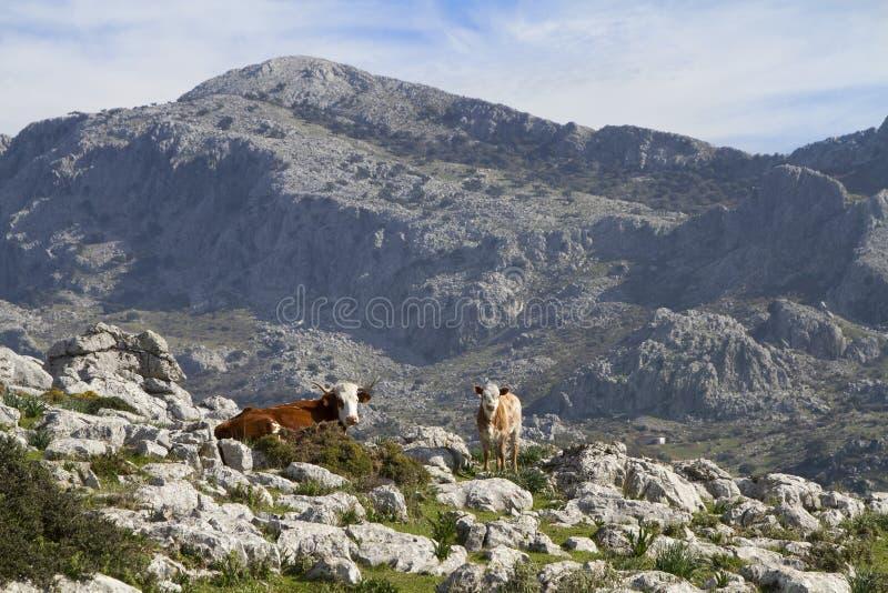 Een koe en haar kalf stock afbeeldingen