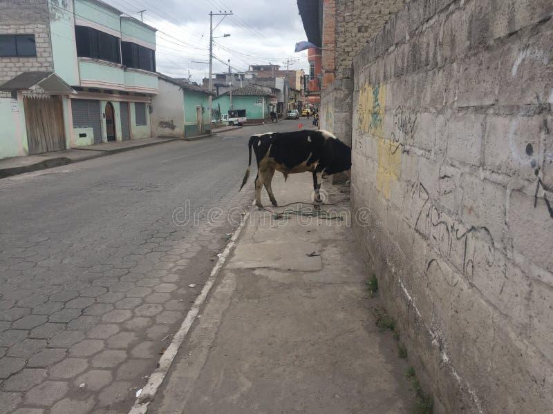 Een koe in middel van een straat die zijn hoofd in een tuin heeft geplakt royalty-vrije stock fotografie