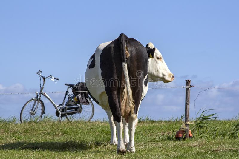 Een koe van achter een elektrische omheining en een fiets op norm stock foto's