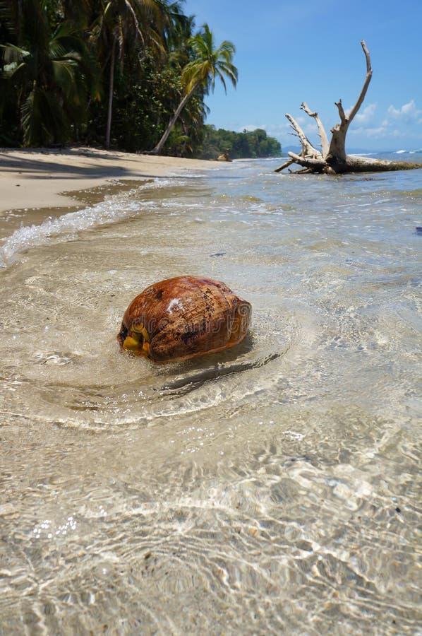 Een kokosnoot wast aan wal op tropisch strand stock fotografie