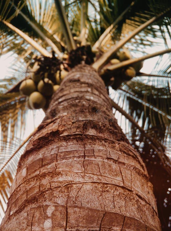 Een kokospalm stock afbeeldingen