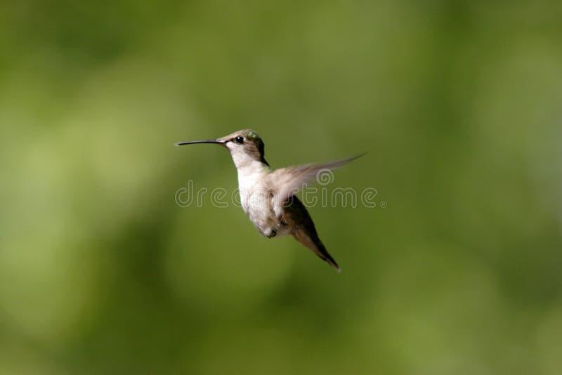 Een kolibrie hangt in de lucht. stock fotografie