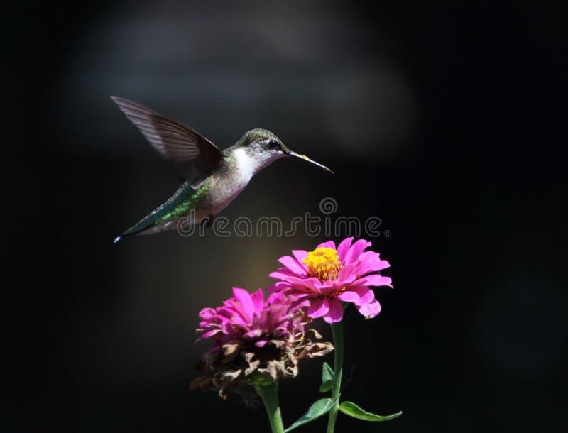 Een Kolibrie in Zinnia Flowers stock afbeelding