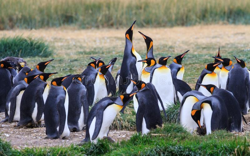 Een kolonie van Koning Penguins die, Aptenodytes-patagonicus, in het gras in Parque Pinguino Rey, Tierra del Fuego Patagonia rust stock foto's