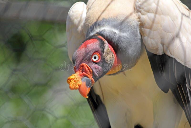 Een Koning Vulture in gevangenschap royalty-vrije stock afbeeldingen