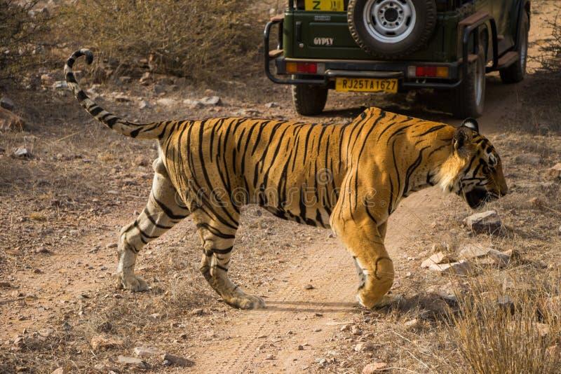 Een koninklijke mannelijke tijger van Bengalen op wandeling voor geur die op zijn grondgebied merken het zwerven in wildernis die stock afbeelding
