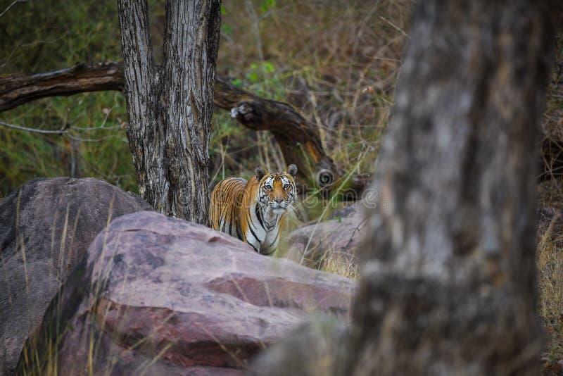 Een koninklijke tijger van Bengalen op wandeling voor geur die op zijn grondgebied merken Een hoofd op schot van een zwangere tij royalty-vrije stock foto's