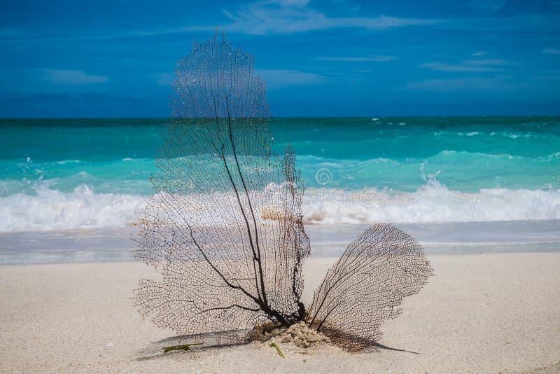 Een koraalventilator op het witte carribean strand stock fotografie