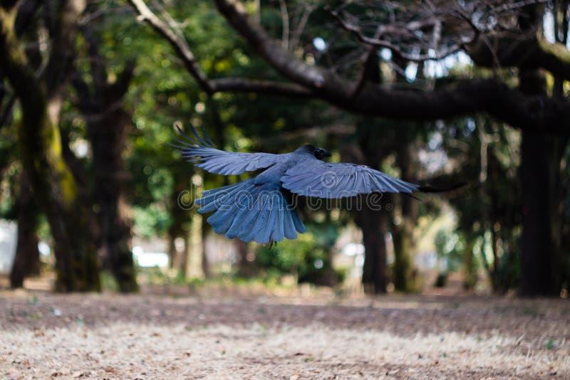 Een Kraai die wegvliegen stock afbeeldingen
