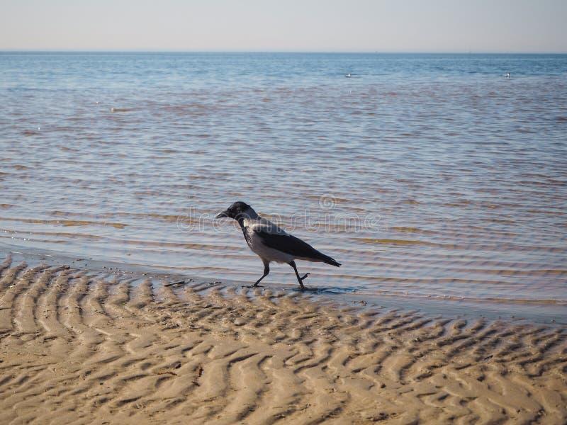 Een kraai loopt op het zand stock foto