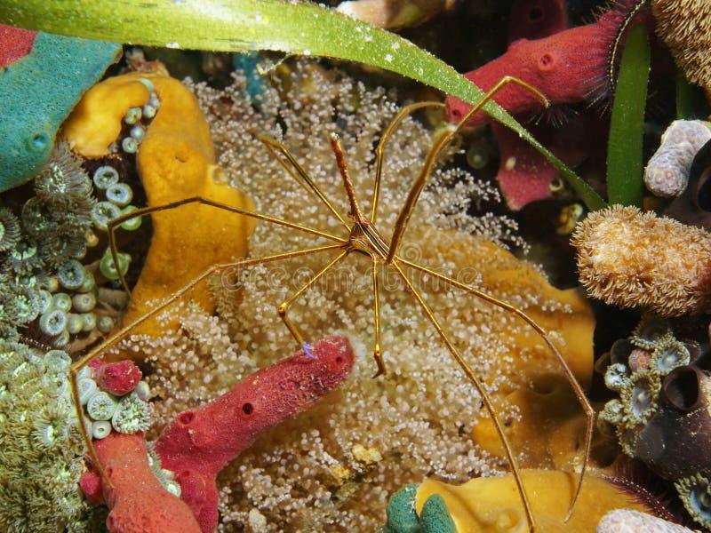 Een krab van de yellowlinepijl op een kleurrijke zeebedding stock afbeelding