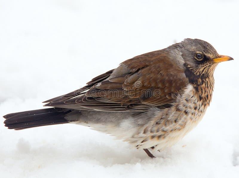 Een Kramsvogelvogel die zich in de sneeuw met veren bevinden fluffed royalty-vrije stock foto