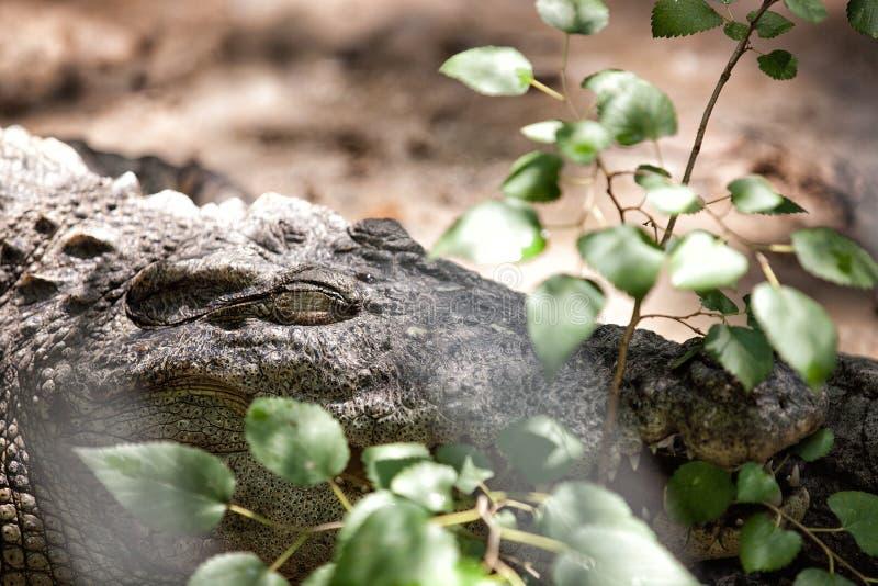 Een krokodil stock fotografie