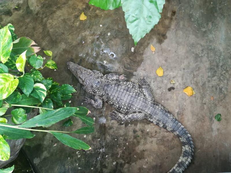 Een krokodil bij de dierentuin stock afbeelding