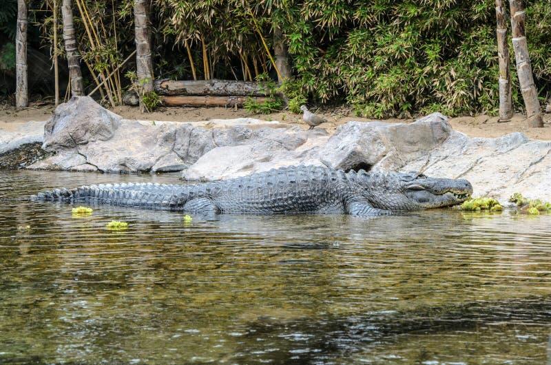 Een krokodil bij de dierentuin in Loro-Park, Puerto de la Cruz royalty-vrije stock afbeelding