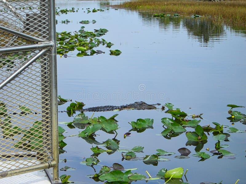 een krokodil op de oppervlakte royalty-vrije stock afbeelding