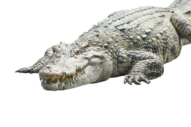 Een krokodil op wit stock foto