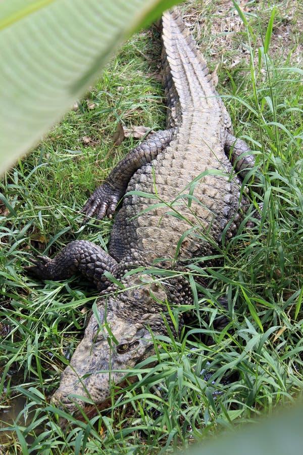 Een krokodil van hierboven royalty-vrije stock fotografie