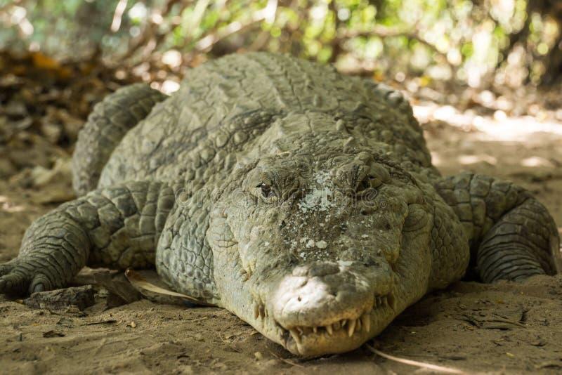 Een krokodil zonnebaadt in de hitte van Gambia, West-Afrika stock afbeelding