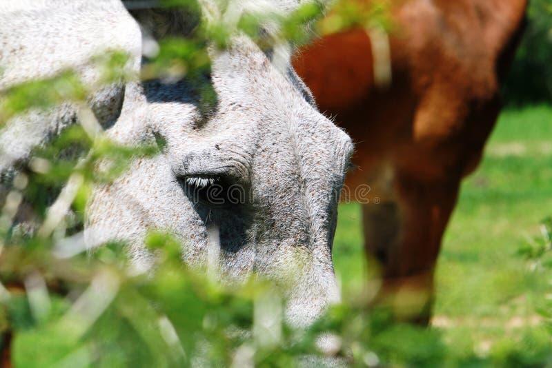 Een kruising van een paard en een ezel die door de omheining bij een park in Zimbabwe gluren royalty-vrije stock fotografie