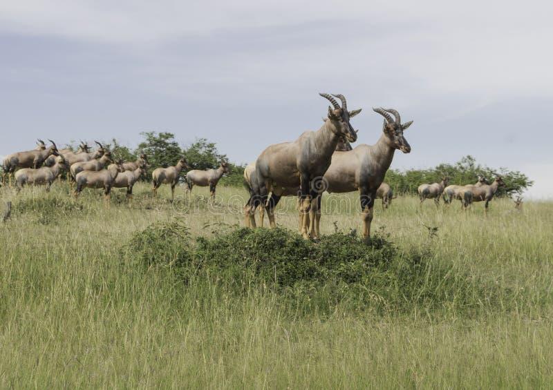 Een kudde van antilope Topi royalty-vrije stock fotografie