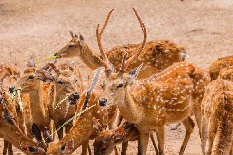 Een Kudde van Bevlekte Deers in landbouwbedrijf stock afbeeldingen