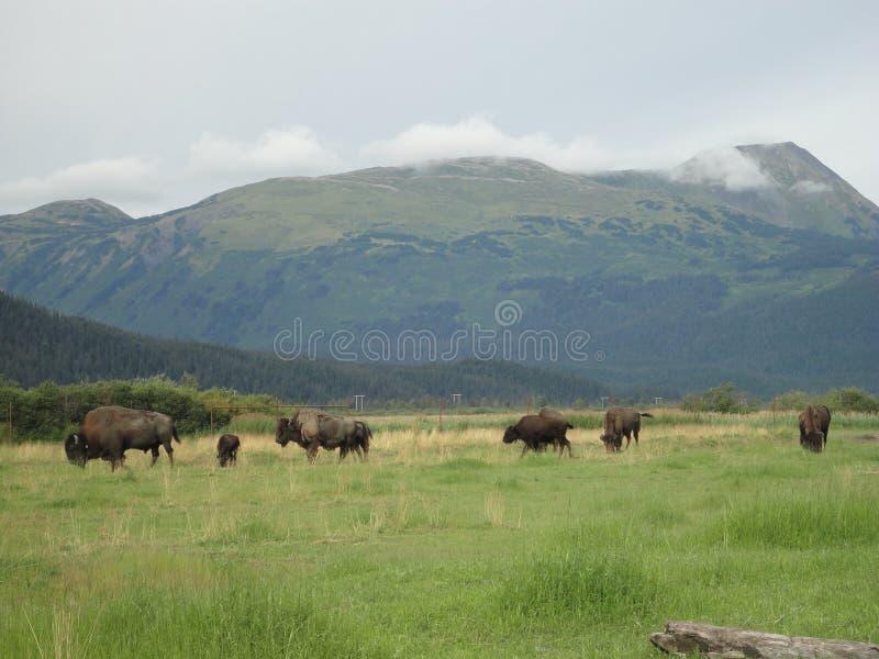 Een kudde van Bizon het weiden op een grasrijk gebied royalty-vrije stock afbeelding