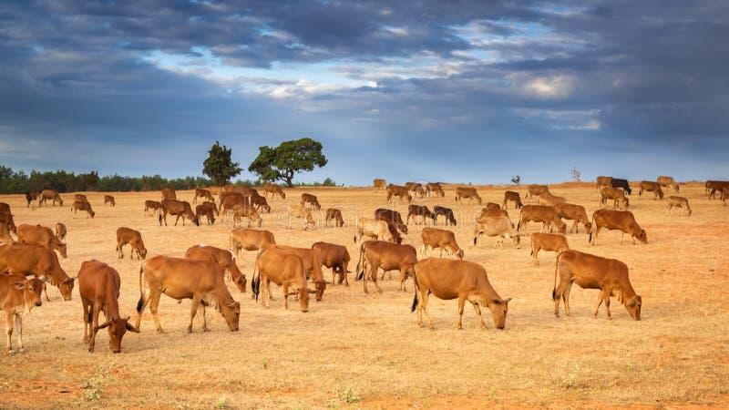 Een Kudde van Bruine Koeien stock foto's