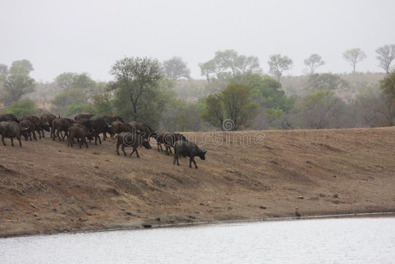 Een kudde van buffels die naar het water geven gaan stock fotografie