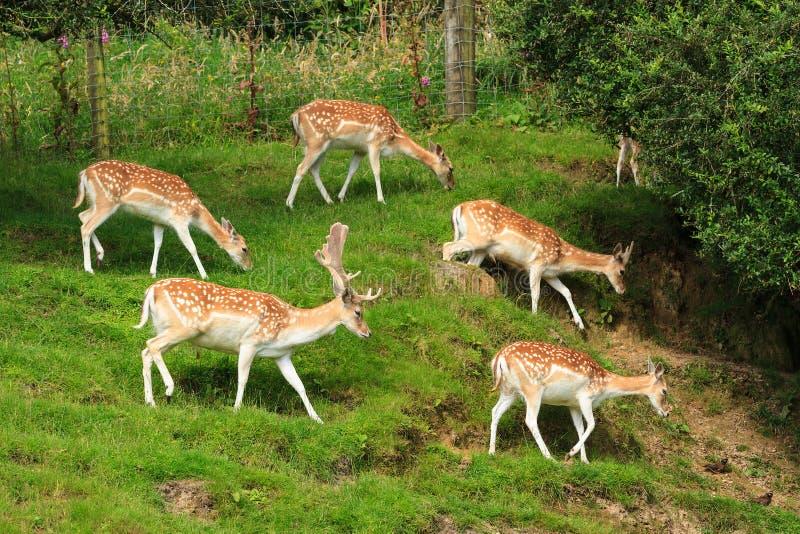Een kudde van damherten op een grasrijke helling stock afbeelding