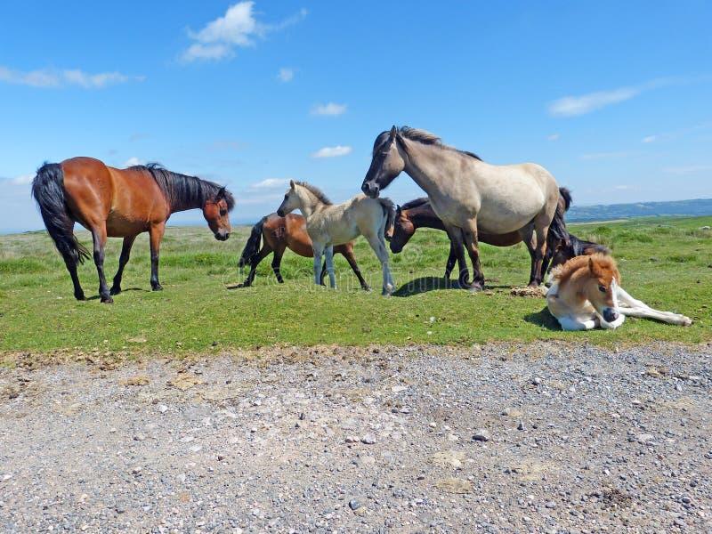 Een kudde van Dartmoor-Poneys stock foto