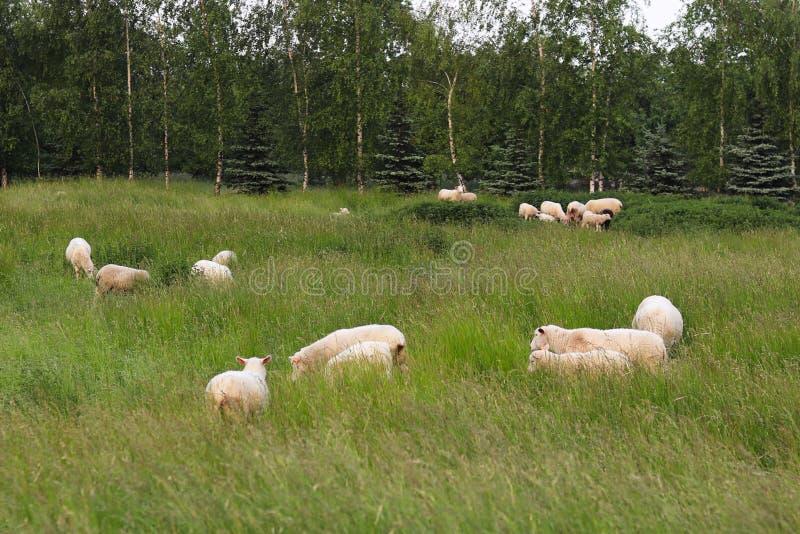 Een kudde van duidelijke schapenkleur weidt in een weide met een lang groen weelderig gras Weiland van een landbouwbedrijf met bo royalty-vrije stock foto's