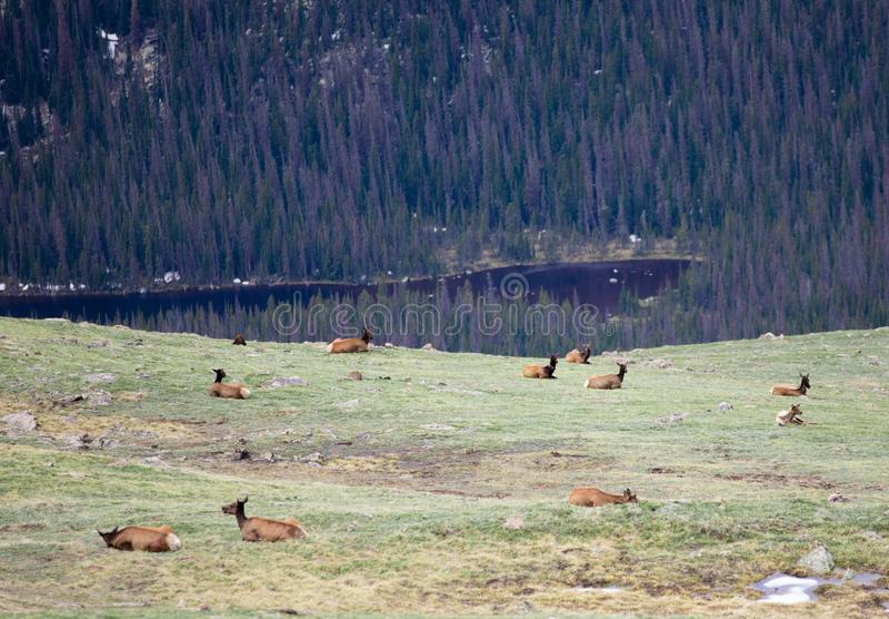 Een Kudde van Elanden die op een Alpiene Weide in Rocky Mountain National Park in Colorado weiden royalty-vrije stock afbeeldingen