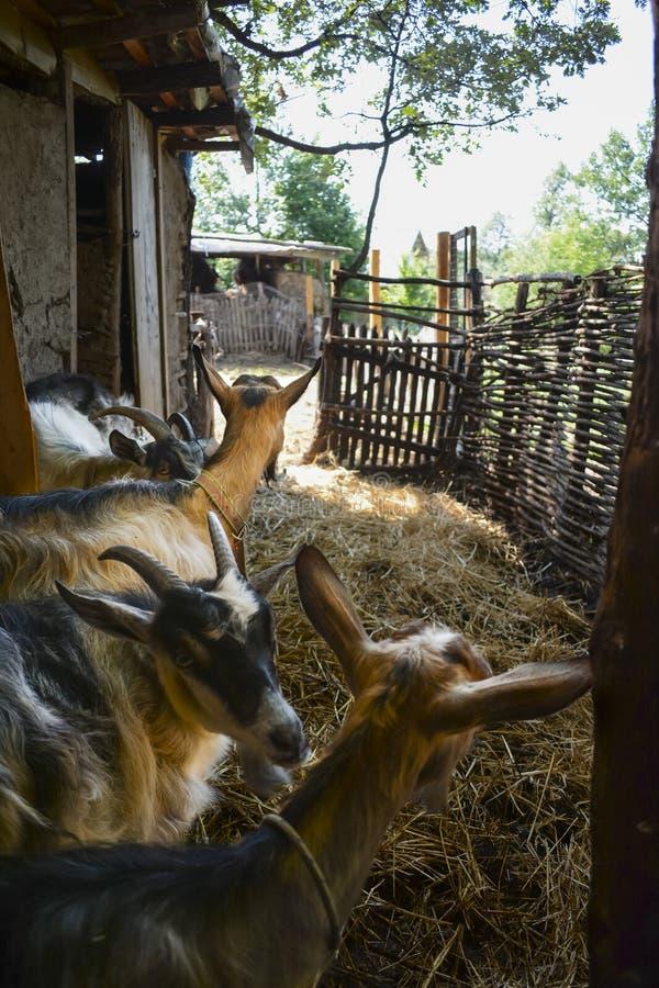 Een kudde van geiten in een oude traditionele bergschuur royalty-vrije stock foto's