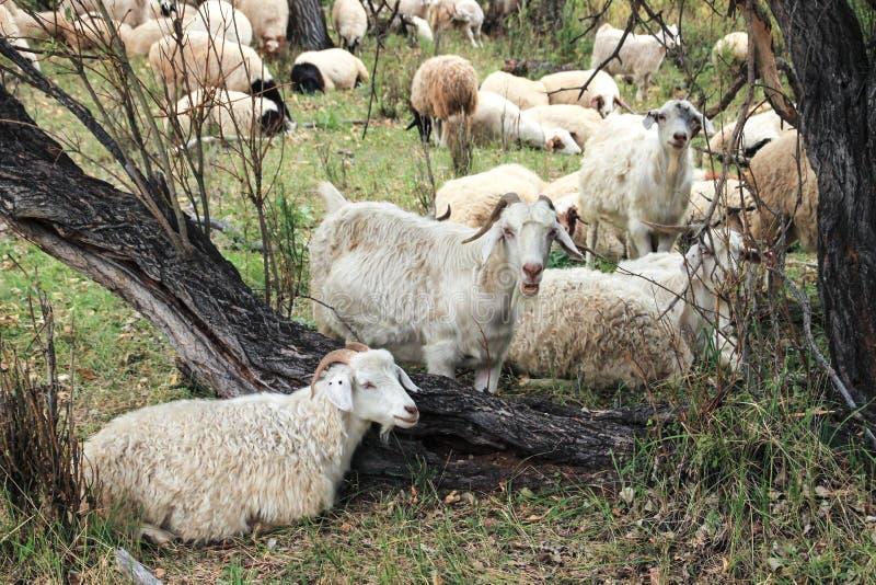 Een kudde van geiten weidt en rust op een hete de zomerdag in de schaduw royalty-vrije stock fotografie