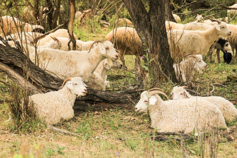 Een kudde van geiten weidt en rust op een hete de zomerdag in de schaduw stock afbeelding