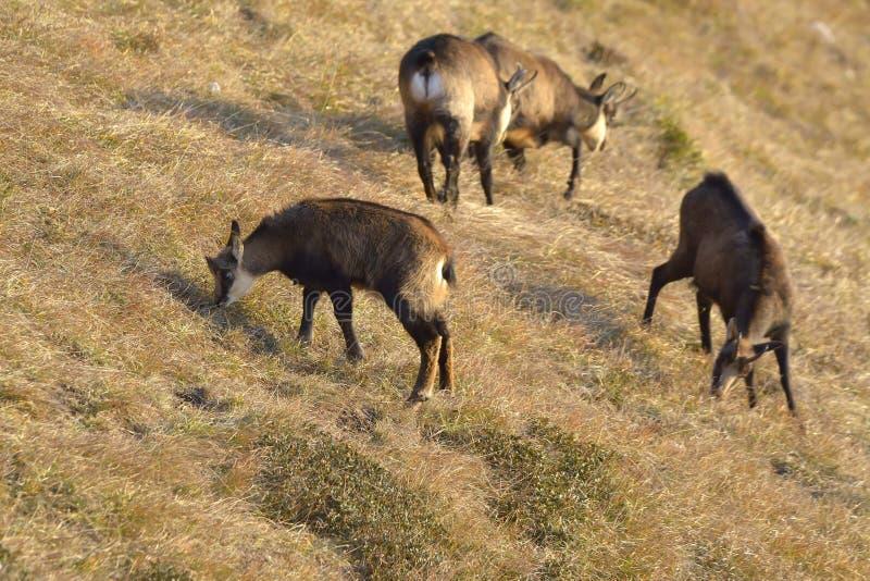 Een kudde van gemzen die op een grasgebied eten royalty-vrije stock afbeelding