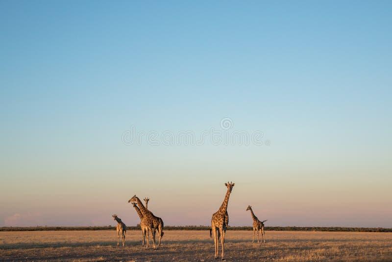Een kudde van giraffen in de woestijn van Kalahari royalty-vrije stock afbeeldingen